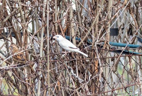 Бели врабац